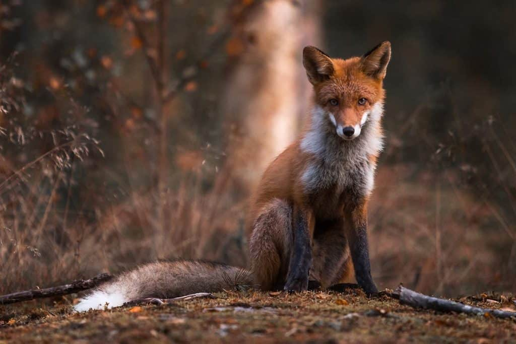 Red fox in Finland by Ossi Saarinen