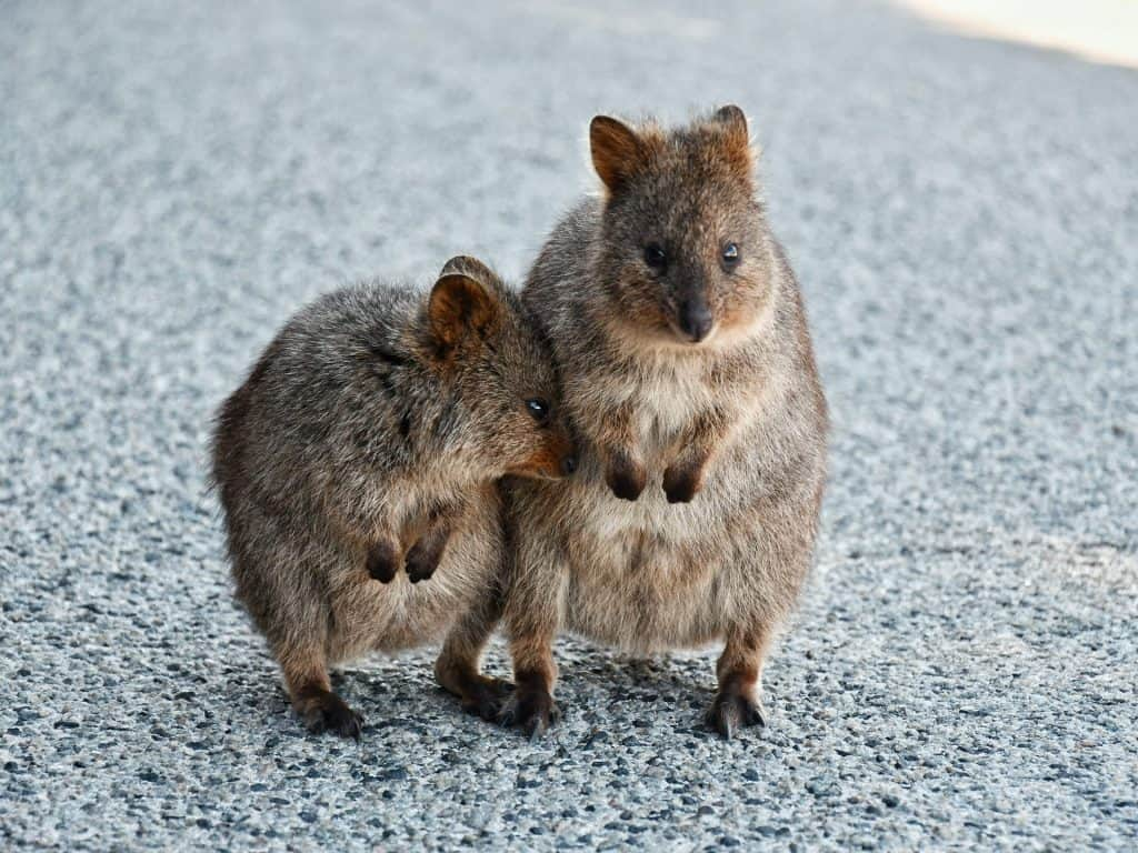 Wildlife at Rottnest Island Australia